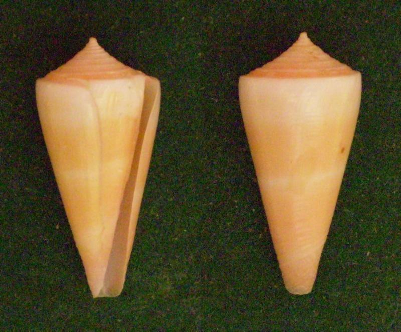 Conidae Conus (Attenuiconus) attenuatus - (Reeve, 1844) Panor156