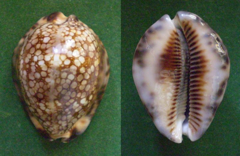 Mauritia maculifera martybealsi - Lorenz, 2002 Panor165