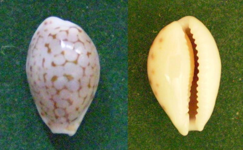Cribrarula pellisserpentis - Lorenz, 1999 Panor166