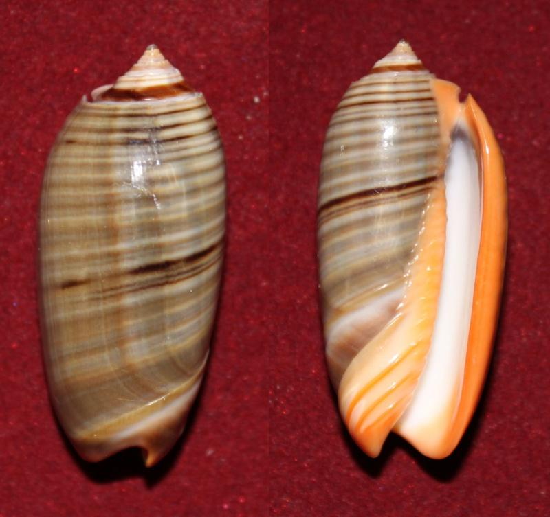 Viduoliva rubrolabiata (Fischer, 1903) Panor167