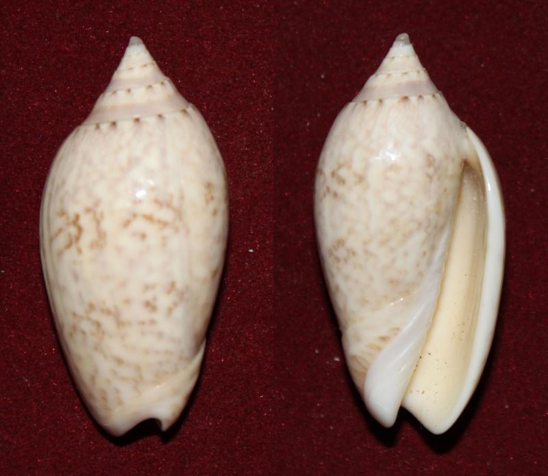 Americoliva fulgurator fulgurator (Röding, 1798) Panor168