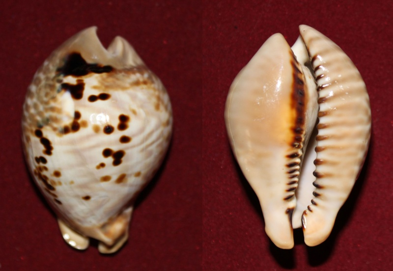 Muracypraea mus donmoorei - Petuch, 1979  Panor174