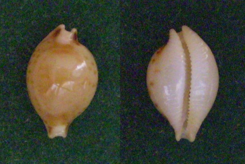 Pustularia mauiensis wattsi - Lorenz, 2000 Panor176
