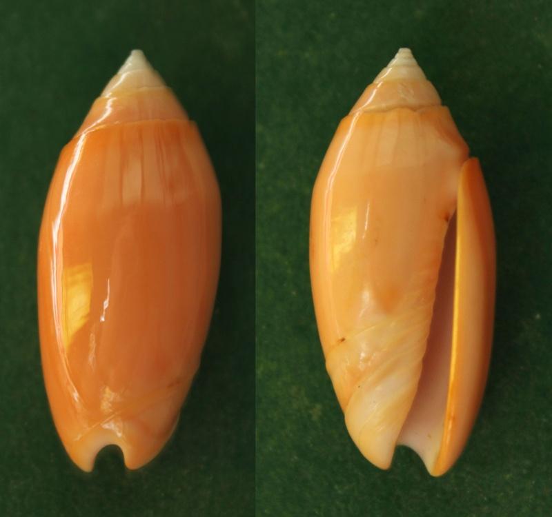 Annulatoliva annulata carnicolor (Dautzenberg, 1927) voir Annulatoliva carnicolor (Dautzenberg, 1927) Panor182