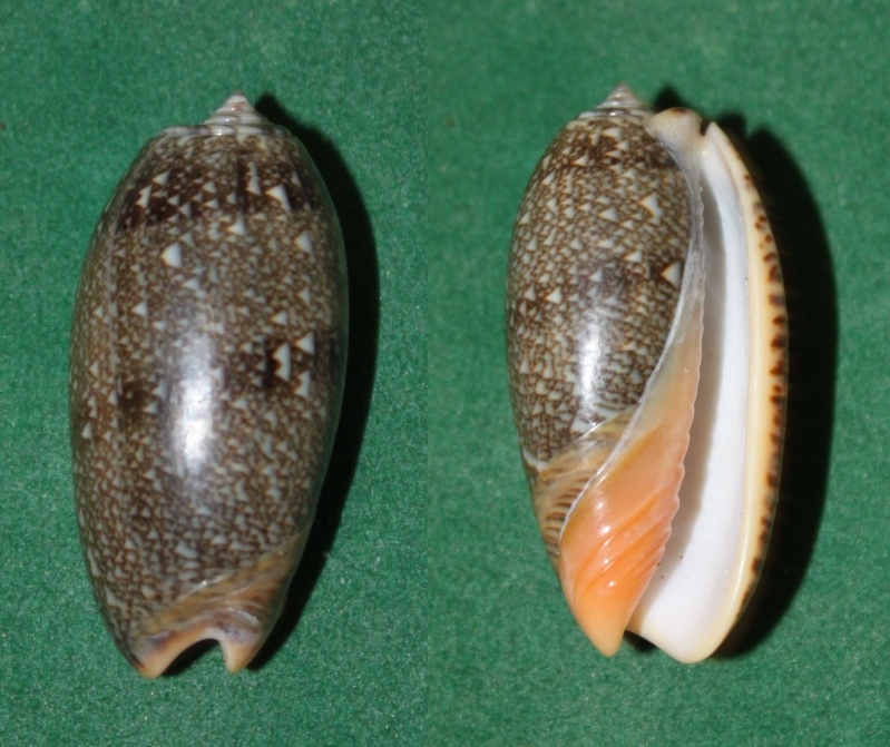 Viduoliva reticulata f. azona (Dautzenberg, 1927) Panor189