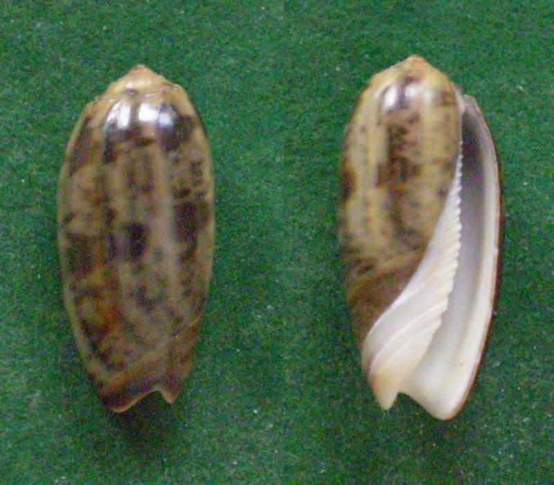 Carmione keeni (Marrat, 1870) - Worms = Oliva keenii Marrat, 1870 Panor194