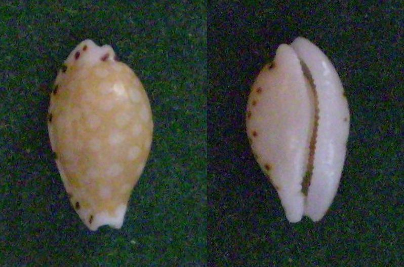 Cribrarula compta - (Pease, 1860) Panor200