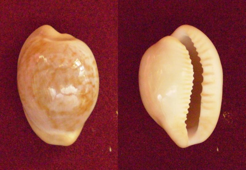 Cypraeovula fuscorubra gondwanalandensis - (Burgess, 1970) Panor202