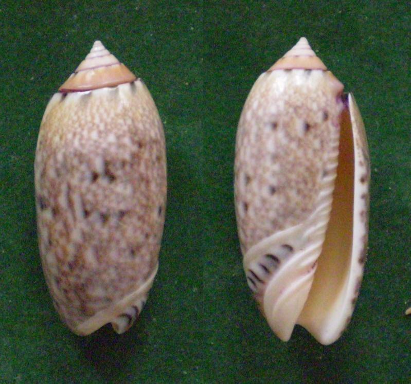 Annulatoliva annulata mantichora (Duclos, 1840) voir Annulatoliva mantichora (Duclos, 1840) Panor206