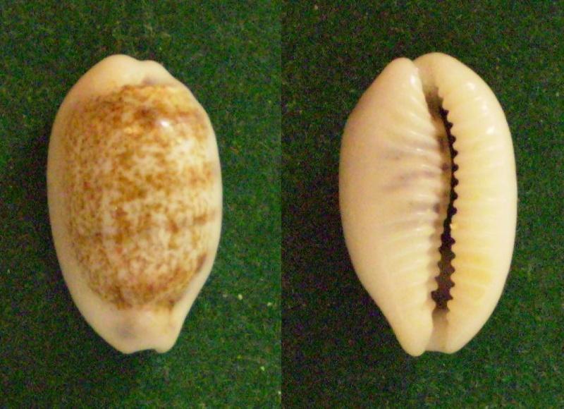 Blasicrura pallidula vivia - Steadmand & Cotton, 1943 Panor211