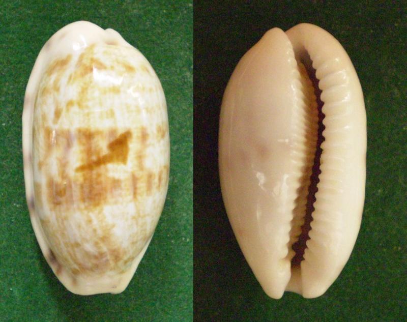 Talostolida pellucens pellucens - (Melvill, 1888) Panor212