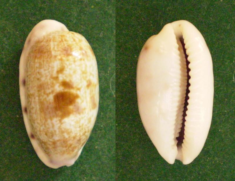 Talostolida pellucens panamensis - (Lorenz, 2002) Panor213