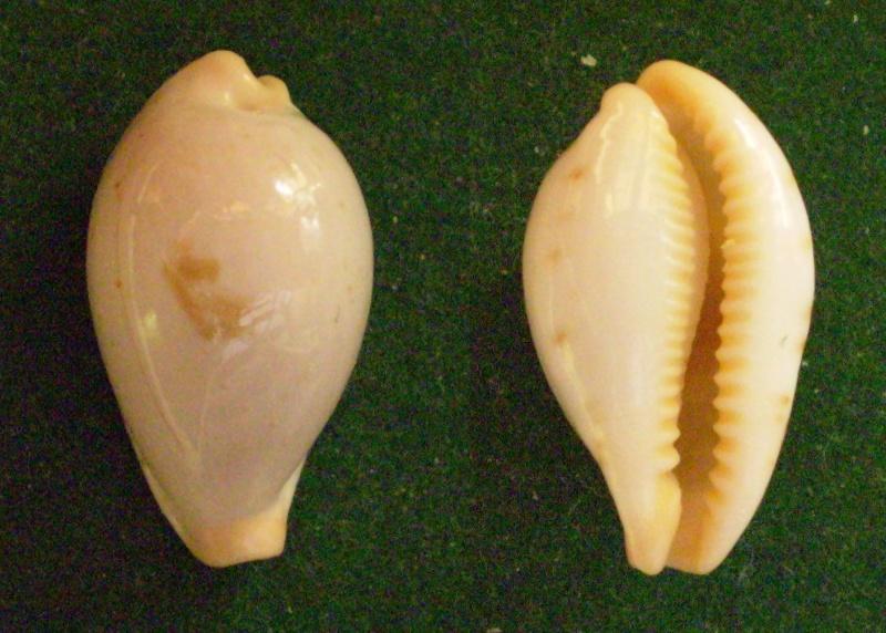Palmadusta saulae nugata f. crackeï - Cate, 1968 Panor216