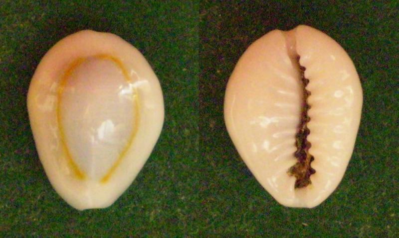 Monetaria annulus sublitorea - Lorenz, 1997 Panor218