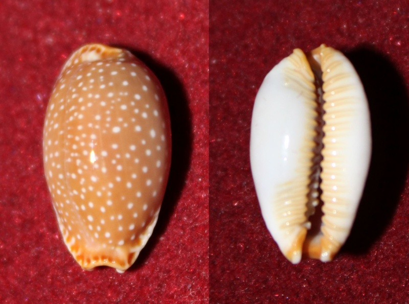 Staphylaea semiplota semiplota - (Mighels, 1845) Panor221
