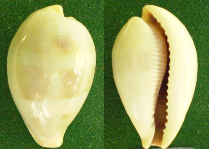 Erronea angioyorum - Biraghi, 1978  Panor228