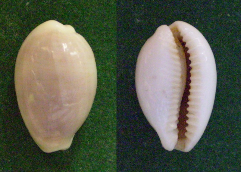 Palmadusta clandestina candida - (Pease, 1865) Panor252