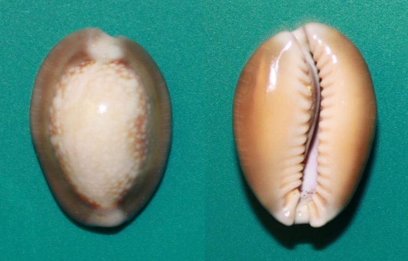Monetaria caputserpentis argentata - Dautz. & Bouge, 1933 Panor259