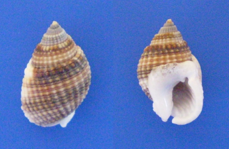 Nassarius gemmuliferus - (A. Adams, 1852) Panor261