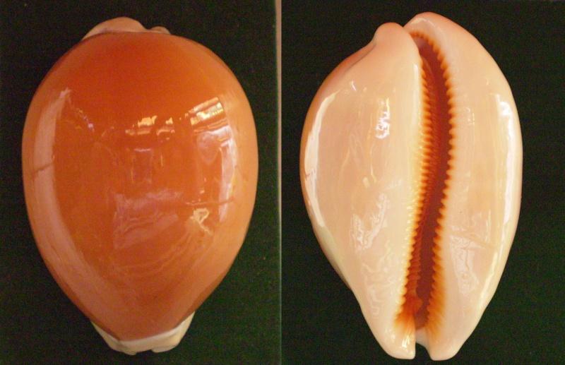 Callistocypraea aurantium - (Gmelin, 1791) Panor269