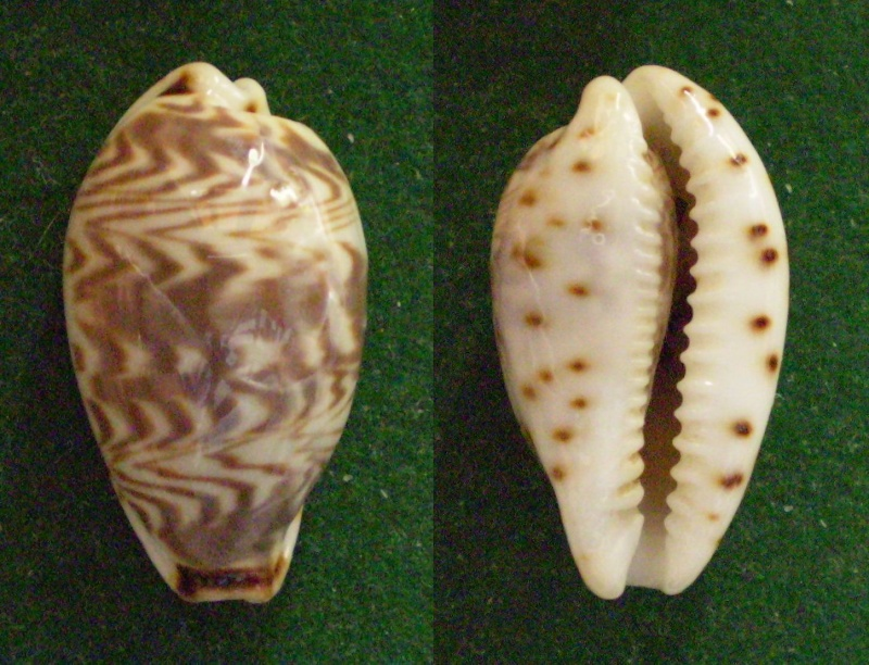 Palmadusta diluculum magnifica - Coen, 1949 Panor276
