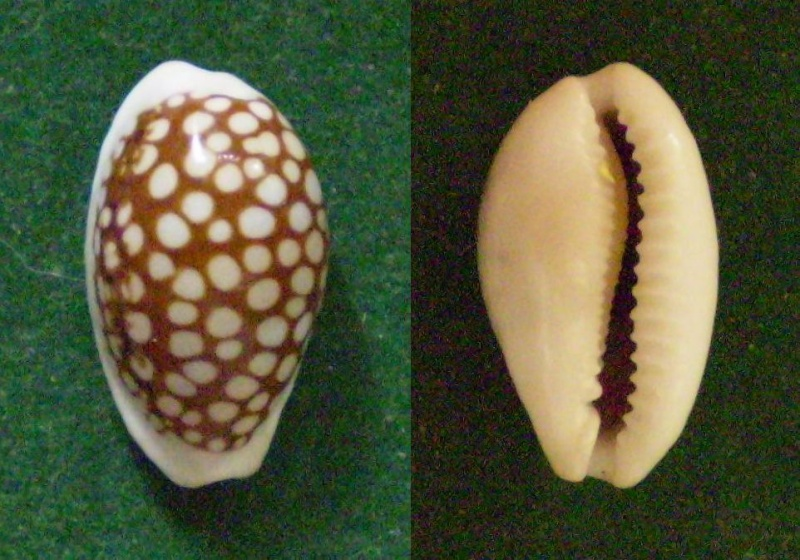 Cribrarula cribraria comma - (Perry, 1811) Panor285