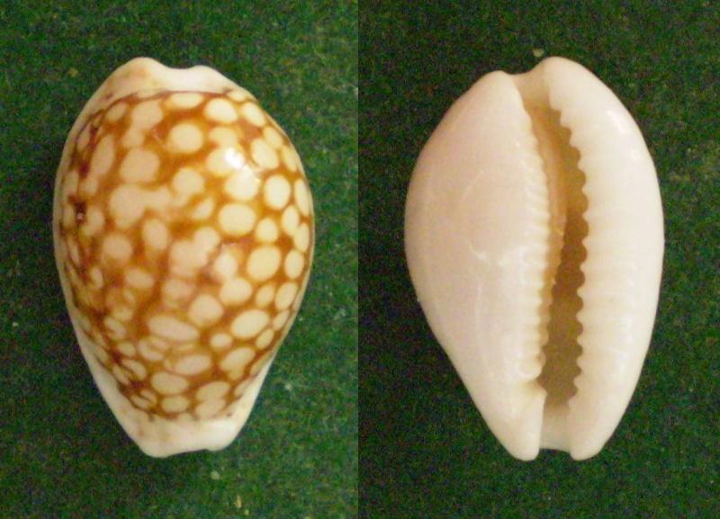 Cribrarula toliaraensis - Bozzetti, 2007 voir Cribrarula cribraria comma (Perry, 1811) Panor286