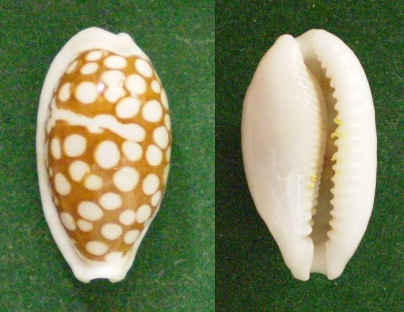 Cribrarula cribraria zadela - (Iredale, 1939)  - taxon inquirendum  Panor288