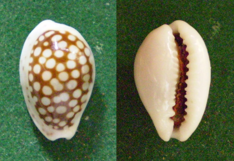 Cribrarula esontropia francescoi - Lorenz, 2002 Panor289