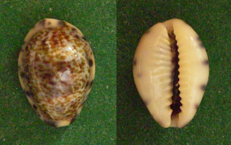Melicerona felina fabula - (Kiener, 1843) Panor296