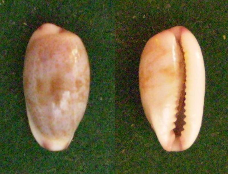 Purpuradusta fimbriata marquesana - Lorenz, 2002 Panor302