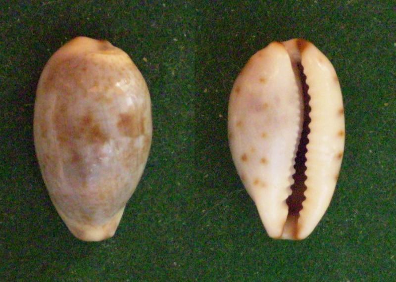 Purpuradusta gracilis gracilis - (Gaskoin, 1849) Panor315