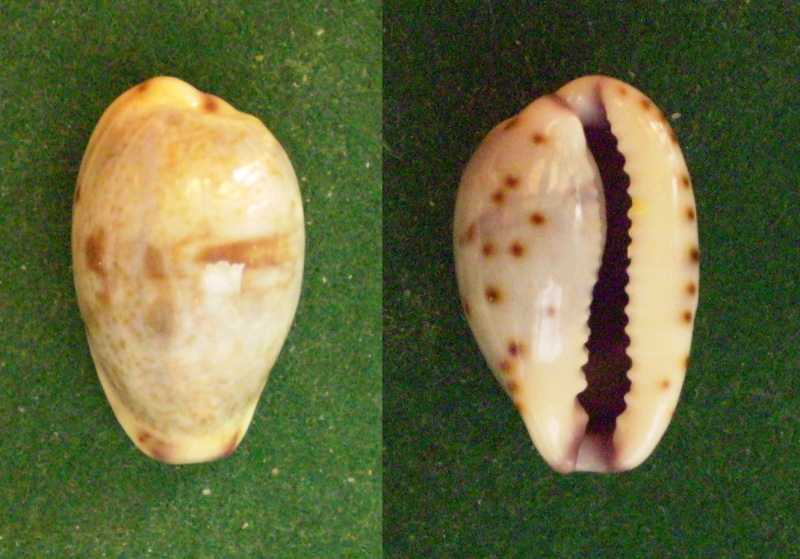 Purpuradusta gracilis notata - (Gill, 1858) Panor316