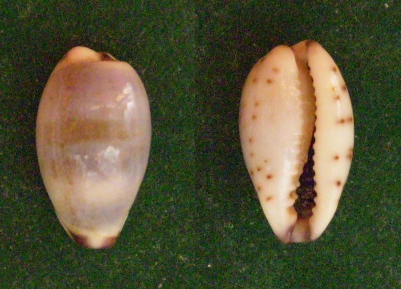 Purpuradusta gracilis gracilis - (Gaskoin, 1849) Panor318