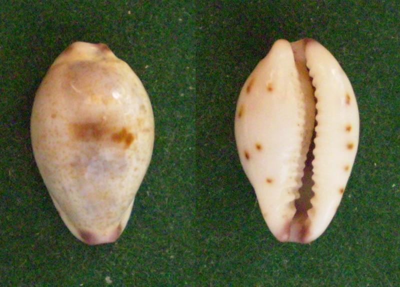 Purpuradusta gracilis gracilis - (Gaskoin, 1849) Panor319