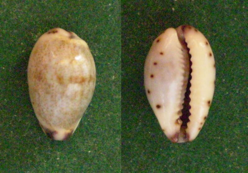Purpuradusta gracilis gracilis - (Gaskoin, 1849) Panor320