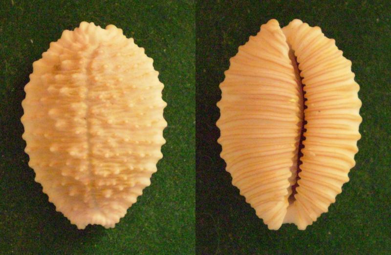 Nucleolaria granulata - (Pease, 1862) Panor321
