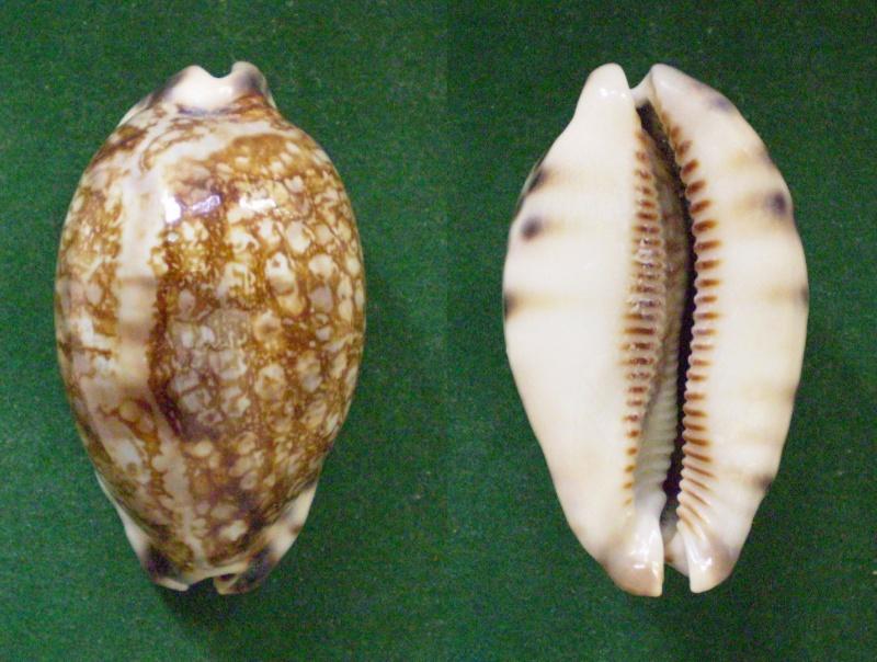 Mauritia histrio - (Gmelin, 1791) - Page 2 Panor322