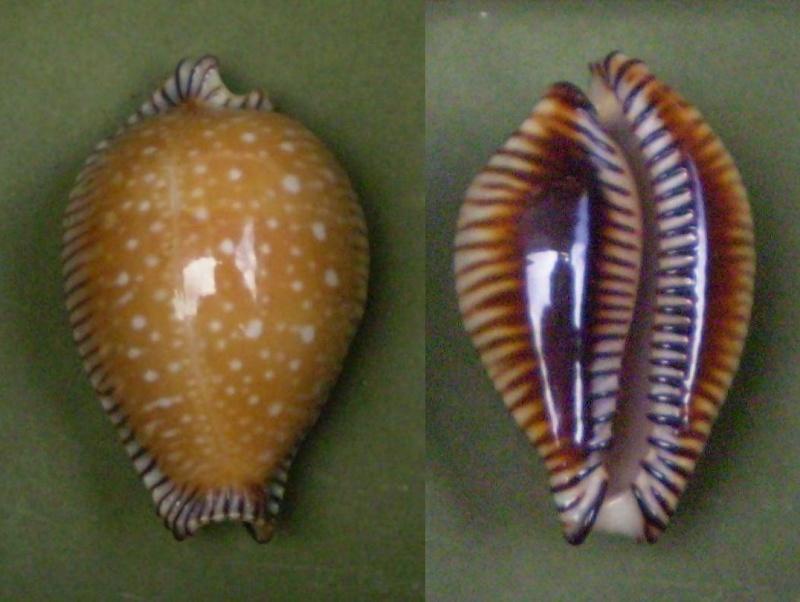 Perisserosa guttata surinensis - (Raybaudi, 1978) Panor324