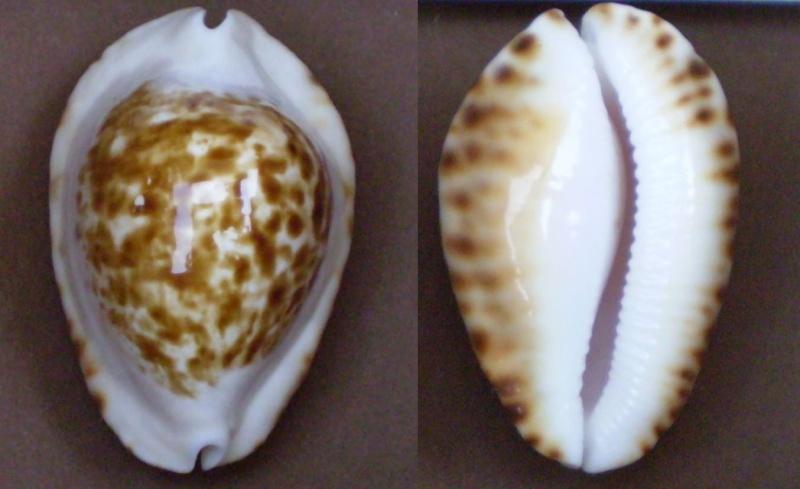 Zoila ketyana bataviensis - Lorenz & Morrison, 2001 Panor338