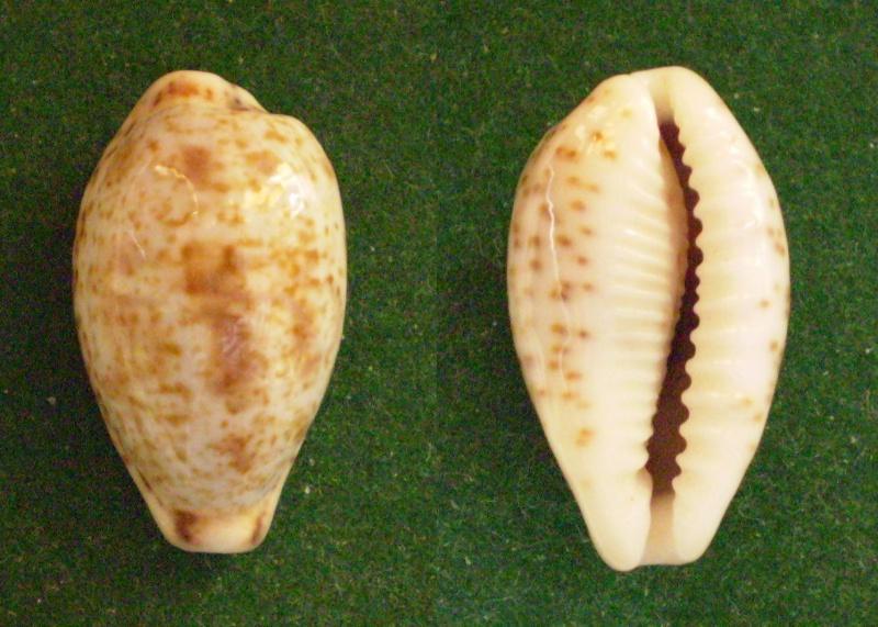 Palmadusta lentiginosa dancalica - (Jonklaas & Nicolay, 1977) Panor339
