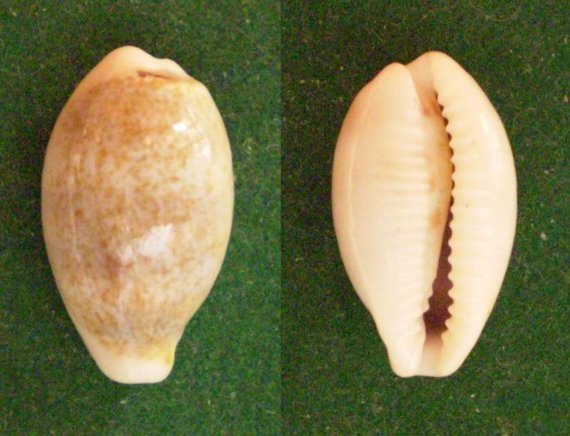 Eclogavena luchuana - (Kuroda, 1960) Panor343