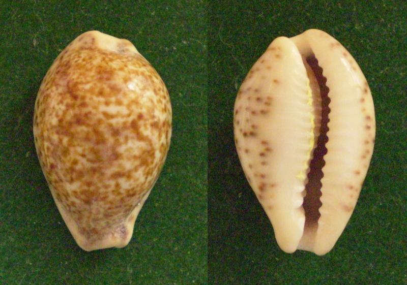 Palmadusta lentiginosa - (J.E. Gray, 1825) Panor354