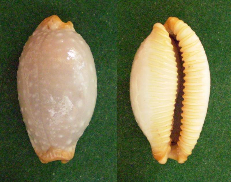Staphylaea limacina interstincta - (Wood, 1828) Panor356
