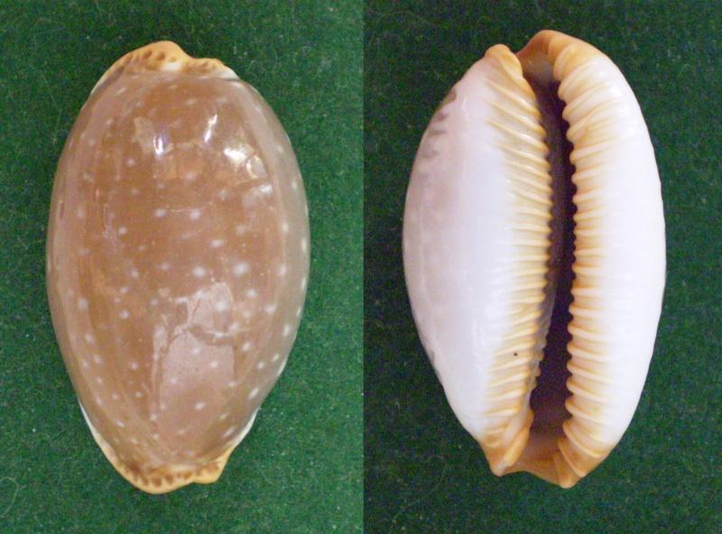 Staphylaea limacina limacina - (Lamarck, 1810) Panor357