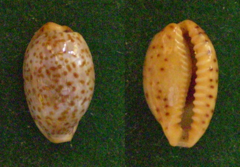 Palmadusta humphreyii - (Gray, 1825)  Panor368