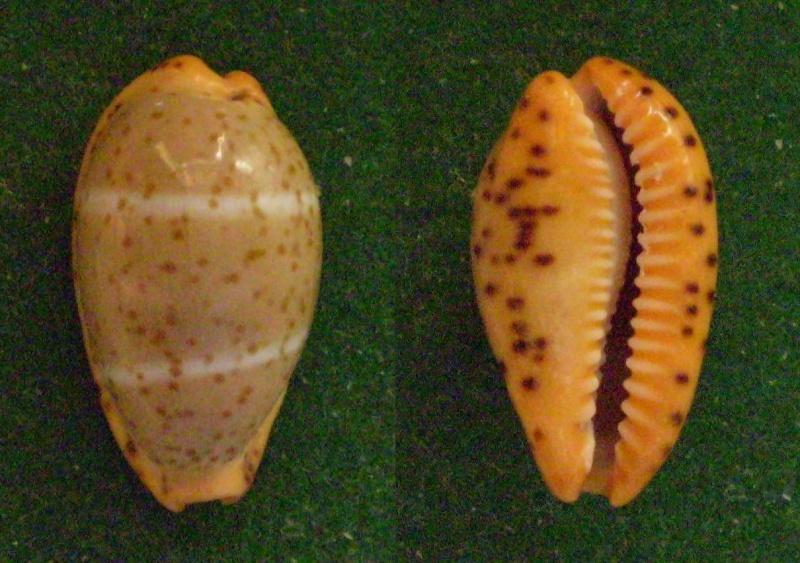 Palmadusta lutea - (Gmelin, 1791) Panor369