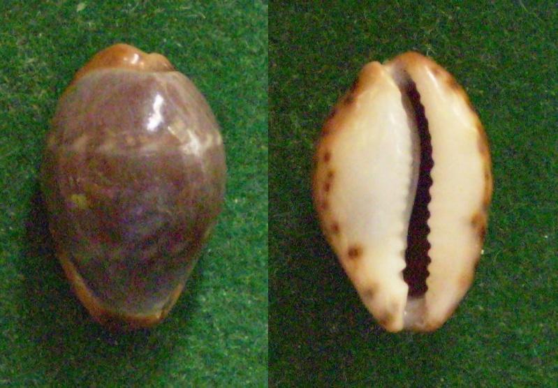 Palmadusta androyensis androyensis - Blöcher & Lorenz, 1999 Panor370
