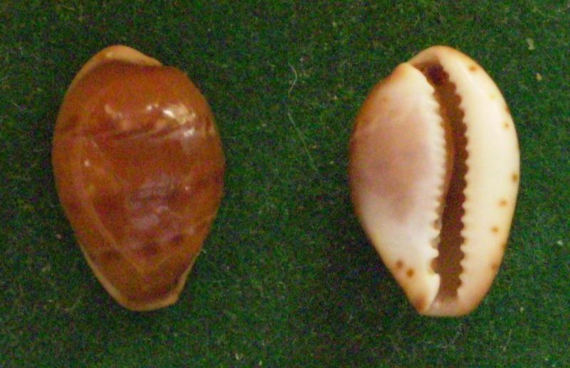 Palmadusta androyensis consanguinea - Blöcher & Lorenz, 2000 Panor371