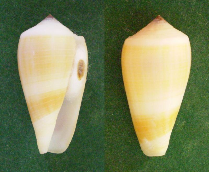 Conus (Pionoconus) carinatus (Swainson, 1822) voir Conus (Pionoconus) magus Panor374